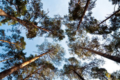 Bottom wide view of pine trees Royalty Free Stock Image