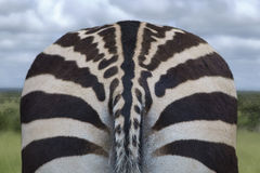 Bottom of a zebra Stock Image