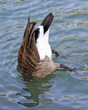 Bottoms Up. Goose with head submerged in water with tail and bottom up Stock Photo