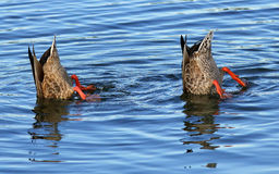 Bottoms Up. Pair of ducks take a dip under the water Royalty Free Stock Image
