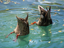 Bottoms up. Some creatures bury their head in the sand, others under water! ( Male and female Hawaiian ducks: Anas wyvilliana, listed as Endangered Species Stock Images