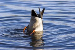 Bottoms Up!. A duck feeding from the bottom of a pond Stock Images