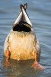 Bottoms up. Mallard showing its bottom on a pond Royalty Free Stock Photo