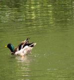Bottoms up Duck. A Mallard with it's tail in the air whilst bathing Royalty Free Stock Photos