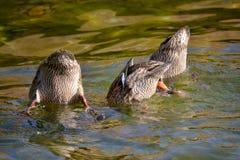 Bottoms Up. Ducks bathing in Summit Lake in Washington Royalty Free Stock Image