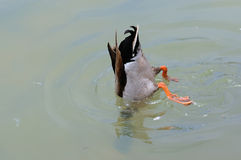 Bottoms Up - Mallard Duck Stock Photo