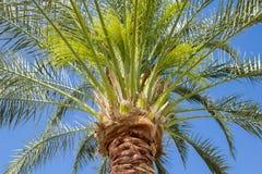 Bottomview macro al top de la palmera verde tropical en el fondo azul Imagen de archivo libre de regalías