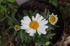 Bottone giallo del fiore bianco fotografia stock libera da diritti