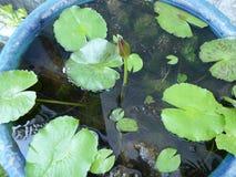 Botum lotus. Alone in water pot Stock Images
