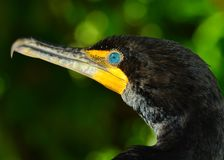 Bouble Crested il Cormorant (auritus del Phalacrocorax) Fotografia Stock Libera da Diritti