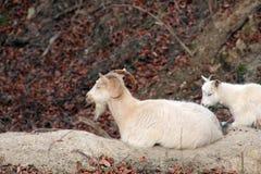 Bouc avec la chèvre de bébé Photo libre de droits