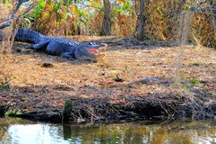 Bouche énorme d'alligator américain ouverte, la Floride Images stock