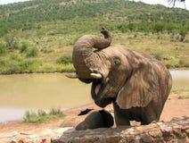 Bouche d'ouverture d'éléphant africain Photographie stock libre de droits