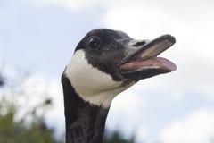 Bouche de sifflement d'oie de Canada ouverte Photographie stock