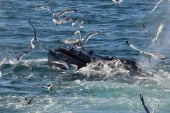 Bouche ouverte de baleine de bosse alimentant avec des mouettes Image libre de droits