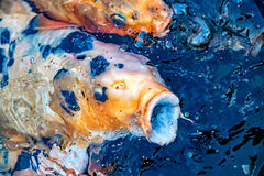 Bouche ouverte de carpe de Koi tout en mangeant Image stock
