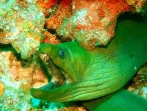 Bouche verte de l'anguille de Moray W ouverte, fond rouge Image libre de droits