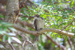 Boucher australien Bird Photo stock