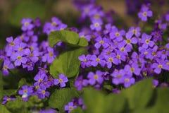 Bouchet ` s цветка на воскресенье Стоковое фото RF