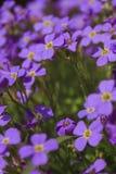 Bouchet ` s цветка на солнце стоковые фотографии rf