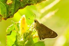 Boucle commune, tullia de Coenonympha, papillon dans le pré Images libres de droits
