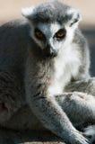 boucle de lemur de catta suivie Images libres de droits