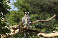 boucle de lemur suivie photographie stock libre de droits