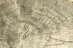 Boucles annuelles sur un tronçon d'arbre sur un blanc Images libres de droits