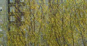 Boucles d'oreille pelucheuses jaunes de fleur d'arbre de bouleau clips vidéos