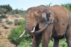 Boue de pulvérisation d'éléphant africain Image stock