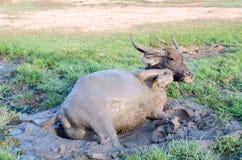 Boue jouée par Buffalo en Thaïlande Images libres de droits