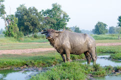 Boue jouée par Buffalo en Thaïlande Image stock