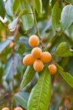 boueamacrophyllagriffithtree Arkivbild