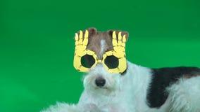 Boues de terrier de Fox dans l'écran vert en verre jaunes banque de vidéos