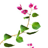 Bougaininvillea 3D Images stock