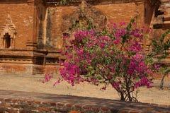 Bougainvilea blisko Ywa Haung Gyi Obrazy Royalty Free