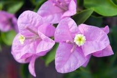 Bougainvilea hybrida flowers closeup view Royalty Free Stock Photos