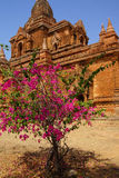 Bougainvilea near Ywa Haung Gyi Royalty Free Stock Image