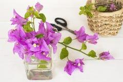 Bougainvilea purpury kwitną miejscowego Asia przygotowania na bielu obrazy stock