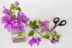 Bougainvilea purpury kwitną miejscowego Asia przygotowania na bielu obraz stock