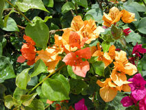 Bougainvilea (spectabilis de B) Photos stock