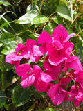 Bougainvilea (spectabilis de B) Photo libre de droits