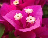 Bougainvillée Images stock