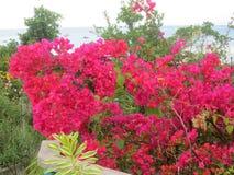 Bougainvilla Royaltyfria Foton