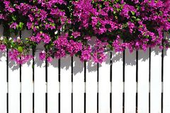 Bougainvilla Over Fence Stock Images