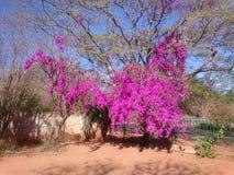 Bougainvilla skönhet Royaltyfria Foton