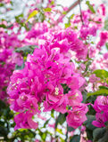 Bougainvillae in blossom Royalty Free Stock Image