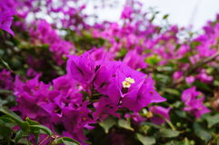 Bougainvillaea. Beautiful mauve flowers of bougainvillea Royalty Free Stock Photo