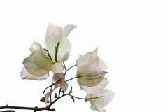 Bougainvillaea blanco Fotos de archivo libres de regalías