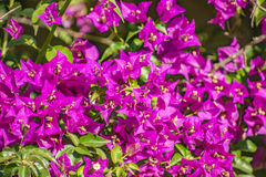 Bougainvillaea in blossom Stock Photos